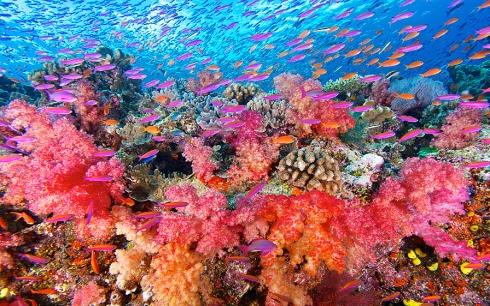 Namena-Soft-Corals-10